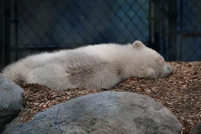 Белый медвежонок: Фото