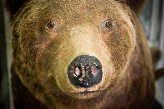 медведь: Фото