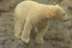В зоопарке Петербурга впервые показали белого медвежонка