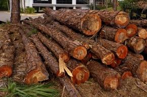 В Невском районе строители многоэтажки захотели вырубить как можно больше деревьев
