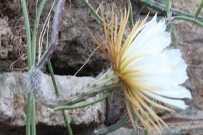 Уникальный кактус