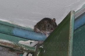 Жители Петербурга жалуются на нашествие крыс