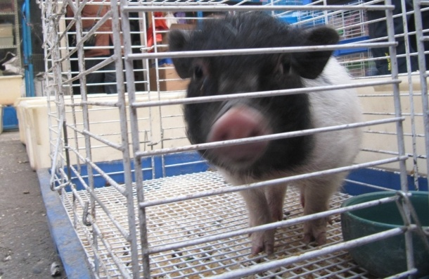 Кондратьевский рынок в Петербурге: ад для животных