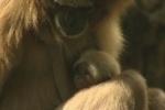 В Ленинградском зоопарке можно увидеть новорожденного гиббона