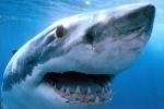 Акулы в Приморье: эксперты просят не плавать в ластах и блестящих купальниках