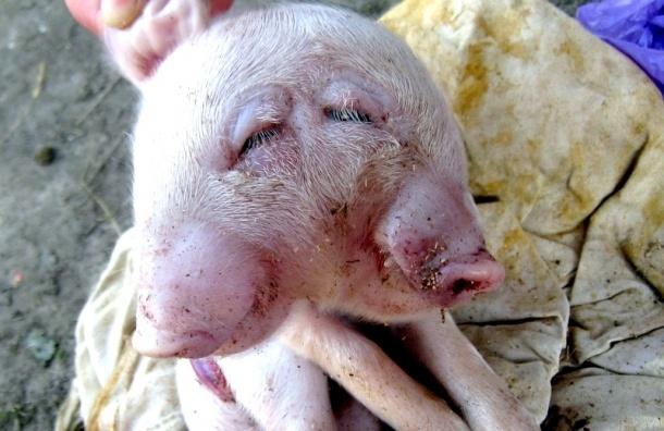 На Брянщине родился двухголовый поросенок, но протянул недолго (фото)