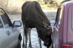 Лось в Купчино бросается под колеса и пугает местных жителей (видео)