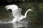 В Летний сад Петербурга вернули лебедей