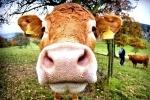 В Пермском крае нашли девочку-маугли, воспитанную коровами