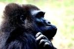 В Чехии обезьяна повесилась в зоопарке