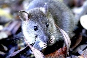 Универсам «Народный» в Петербурге закроют из-за крысиных фекалий