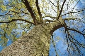 Зачем петербуржцы обнимаются с деревьями