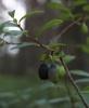 Восковник болотный: Фоторепортаж