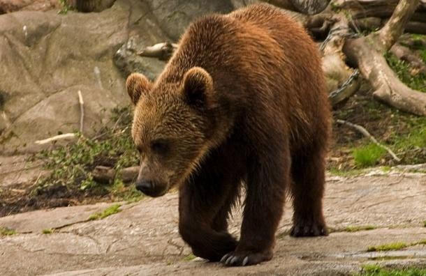Медведи в Кузбассе разоряют мусорные баки и пугают людей