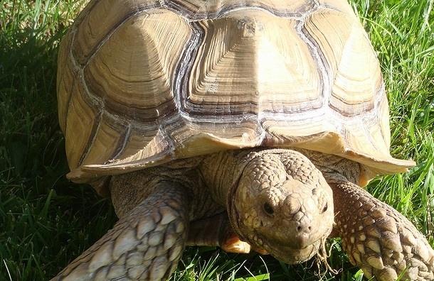 В Великобритании ищут хозяина для черепахи, которая пережила Первую мировую войну