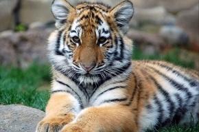 Тигр сбежал из зоопарка Кельна и загрыз насмерть сотрудницу
