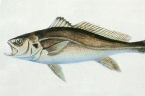 Рыба бахаба продана в Китае за полмиллиона долларов