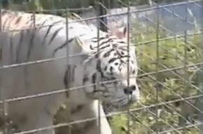 Тигр Кенни - умственно отсталый хищник