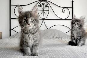 В Петербурге похитили котенка стоимостью 55 тысяч рублей