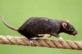 Жителей Колпино терроризируют крысы