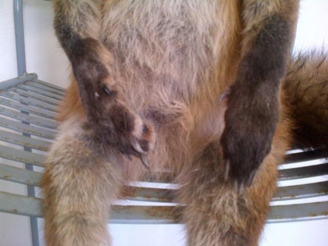 Упоротый лис, фото: Фото