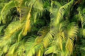 Смольный украсят пальмами и кофейным деревом