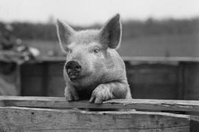 В Ленобласти продавали колбасу, зараженную вирусом африканской чумы свиней