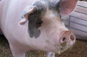 Российские военные при испытаниях техники взрывают свиней