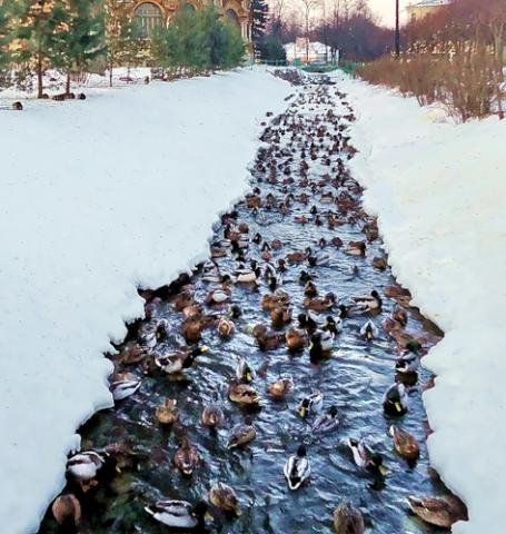 Утки, Петергоф: Фото