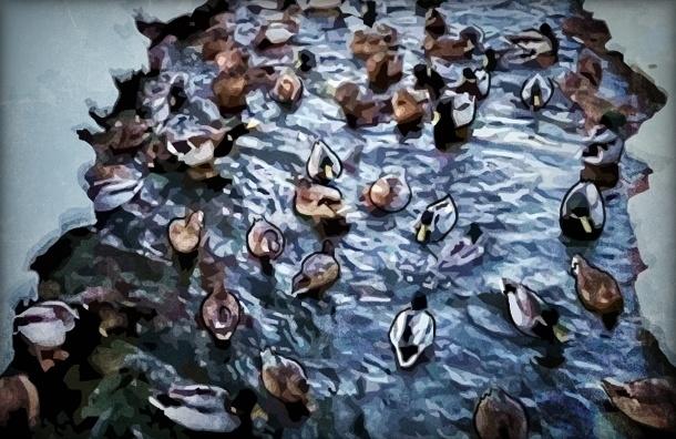 В Петергофе сотни уток замерзают из-за работ по чистке прудов