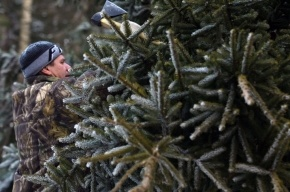 Срубить елку под Петербургом можно всего за 3 рубля 50 копеек