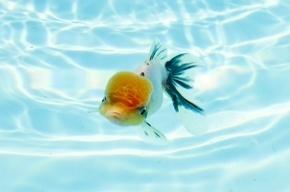 Золотая рыбка защитит от рака