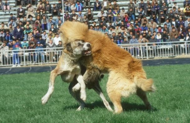 На бойцовских собак нужно будет получать разрешение