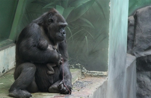 В Московском зоопарке горилла родила малыша