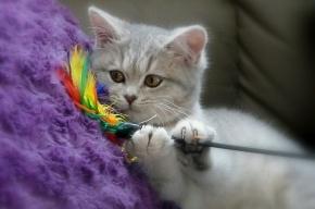 В Петербурге мужчина обманом похитил породистую кошку за 15 тысяч