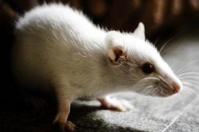 Боевые мыши начнут работать на ФСБ и военную разведку