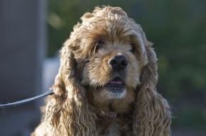 В Петербурге раскрыто дерзкое похищение собаки