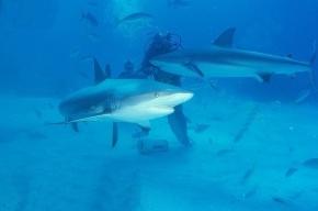 У южного побережья США поймали акулу с двумя головами