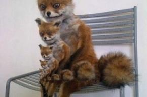 В Петербург едет настоящий Упоротый лис