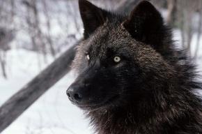 Волка-мутанта застрелили в Ленинградской области
