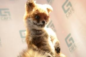 Упоротого лиса выставят в Петербурге на бис
