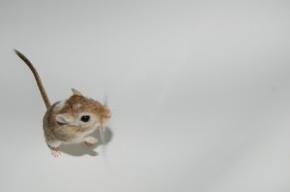 Космические мыши пообедали на борту капсулы «Бион-М»