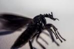 Комары-толстоножки: Фоторепортаж