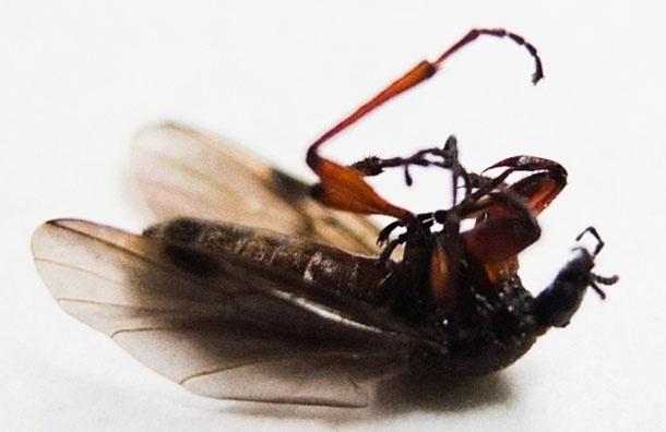 Атака жуков на Москву. Они не опасны и ... съедобны