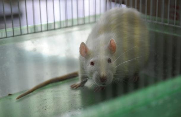 На рейсах между Россией и Китаем кормят крысятиной - Роспотребнадзор