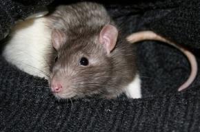 В магазинах Петербурга ищут мясо китайских крыс и лисиц