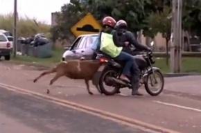 Бодливый козел-террорист из Бразилии стал мировой звездой на YouTube