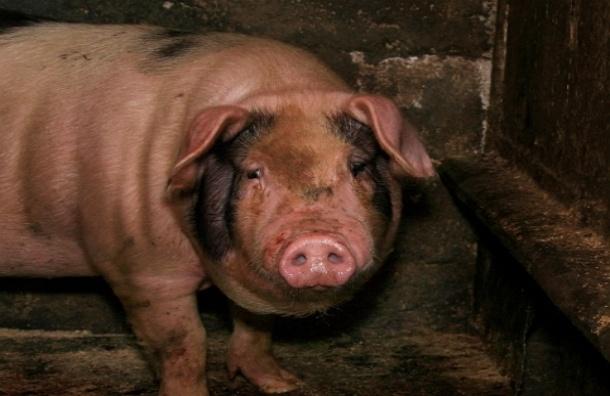 В России запретили поставку мяса из Белоруссии из-за вспышки африканской чумы