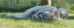 Фоторепортаж: «Тигры»