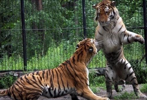 Тигры: Фото